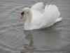 Лебеді зимують (2008) с.Чортория