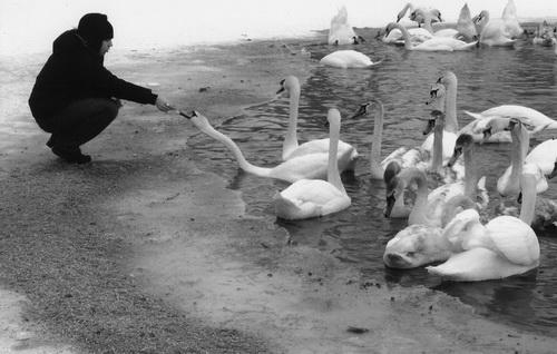 Лебеді візьмуть їжу просто з ваших рук. Але тільки за однієї умови: ви маєте бути без рукавичок