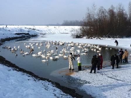 У цей день у лебедів було багато гостей