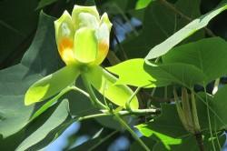 тюльпанове