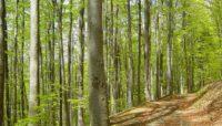 Букові праліси та старовікові ліси Карпат й Поділля включено до Списку Всесвітньої спадщини ЮНЕСКО