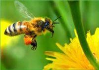 Медоносні бджоли полюбляють хімічні речовини, які вбивають їх