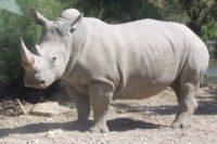 В Африці помер останній на планеті самець білого носорога
