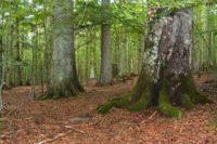 В Україні створять пам'ятку лісової природи всесвітнього значення. Ми поки на черзі
