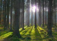 У Кузьмінському лісництві відновили понад 2 га дубового лісу.  На це пішло майже 20 років