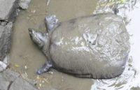 У Китаї померла остання самка найрідкіснішої черепахи у світі