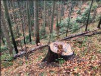 У заповіднику на Вижниччині вирубано дерев на 104 тис. грн