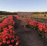 У Магалі та Мамаївцях – 6 мільйонів тюльпанів на 6-ти гектарах