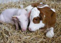 Україна, як і Буковина, втрачає велику рогату худобу і свиней